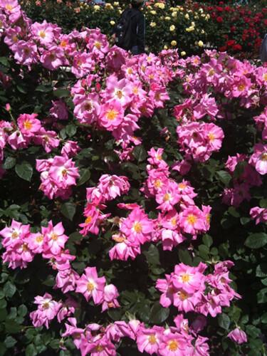 珍しい品種のバラ