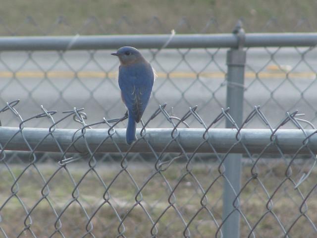 Male bluebird on fence