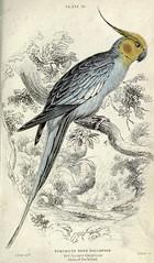 sketch(0.0), pet(0.0), cockatoo(1.0), animal(1.0), parrot(1.0), wing(1.0), fauna(1.0), drawing(1.0), cockatiel(1.0), illustration(1.0), bird(1.0),