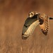 Short-eared Owl by Monica & Tony