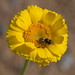 Bug on flower in Wild Burro Canyon near Marana Arizona (200mm / 300mm; 1/400; f/8)
