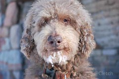 glen of imaal terrier(0.0), cavapoo(0.0), american water spaniel(0.0), toy poodle(1.0), miniature poodle(1.0), dog breed(1.0), animal(1.0), dog(1.0), schnoodle(1.0), pet(1.0), lagotto romagnolo(1.0), mammal(1.0), poodle crossbreed(1.0), spinone italiano(1.0), dandie dinmont terrier(1.0), cockapoo(1.0), goldendoodle(1.0), spanish water dog(1.0), barbet(1.0),