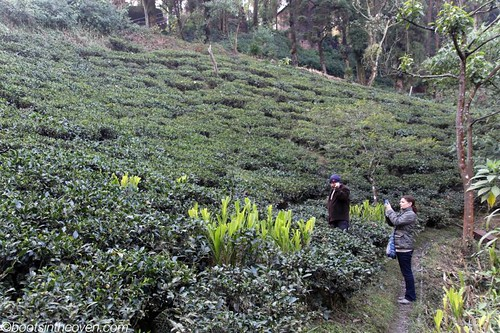 tea plants (not growing season)