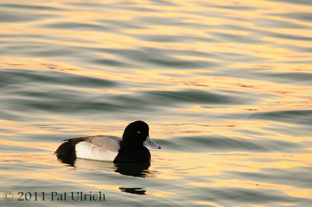 Scaup on the golden waves
