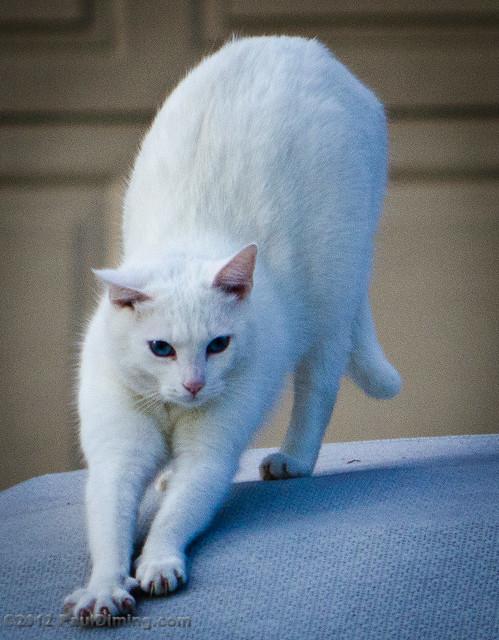 Cat Doing Yoga Video