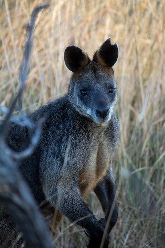 Black wallaby, 2012-01-23 (_MG_1663)