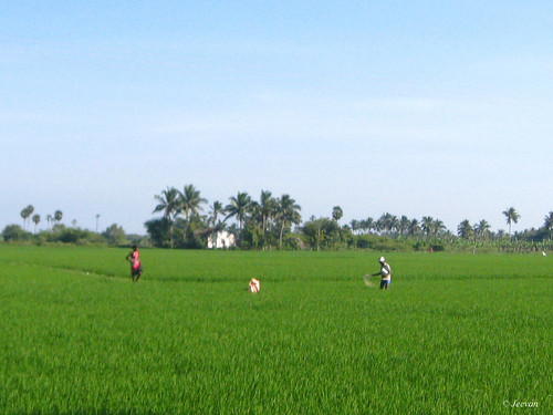 Paddy field fed on fertilizer