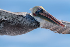stork(0.0), animal(1.0), pelican(1.0), wing(1.0), fauna(1.0), close-up(1.0), ciconiiformes(1.0), marabou stork(1.0), beak(1.0), bird(1.0), seabird(1.0), wildlife(1.0),