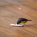 Bananaquit feeding in sugar sachet