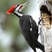 Pileated Woodpecker by polarlow