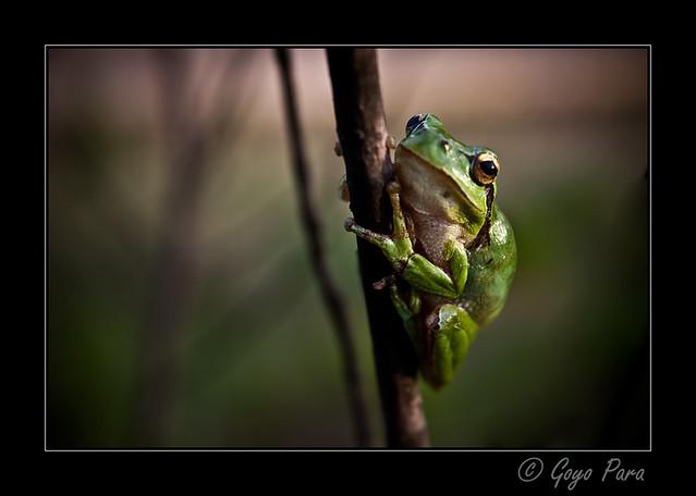 La rana que se mecía con el viento
