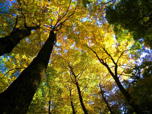 original autumn trees tree fall forest maple poetry vermont poem haiku sugar lookup foliage vt innerlight sugarwoods