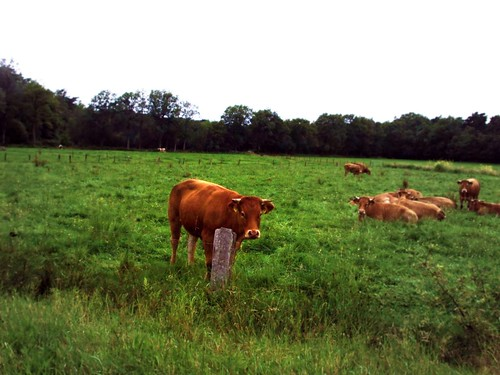The cows on the way, in Elspeet