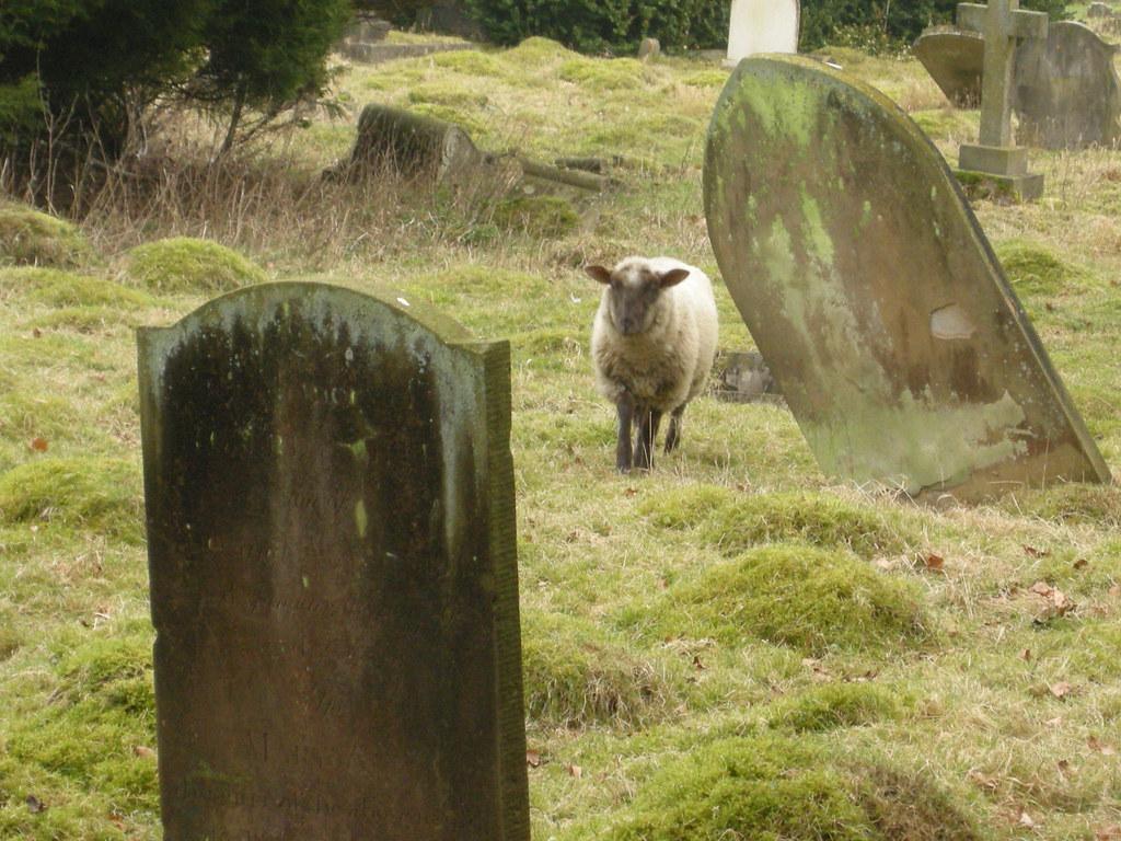 sheep in graveyard