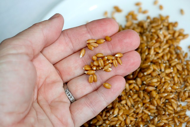 Sprouting Wheat Berries