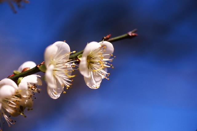 清華梅園賞花(底片版)