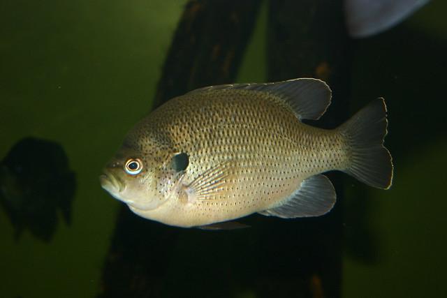 Spotted sunfish at the south carolina aquarium flickr for South carolina freshwater fish