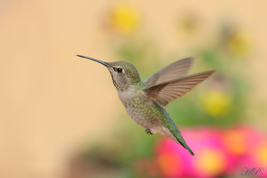 Anna's Hummingbird 020612-2