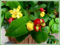 Potted Ochna kirkii (Mickey Mouse Plant, Bird's Eye Bush) in the neighbourhood