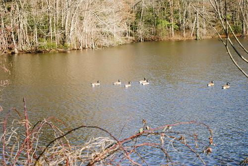 statepark park bird birds geese delaware laurel laurelde trappondstatepark sussexcountyde