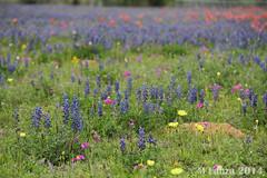 Bluebonnets in Adkins, TX