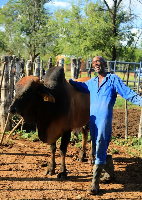 A man in blue coveralls laughs while standing with his bull.