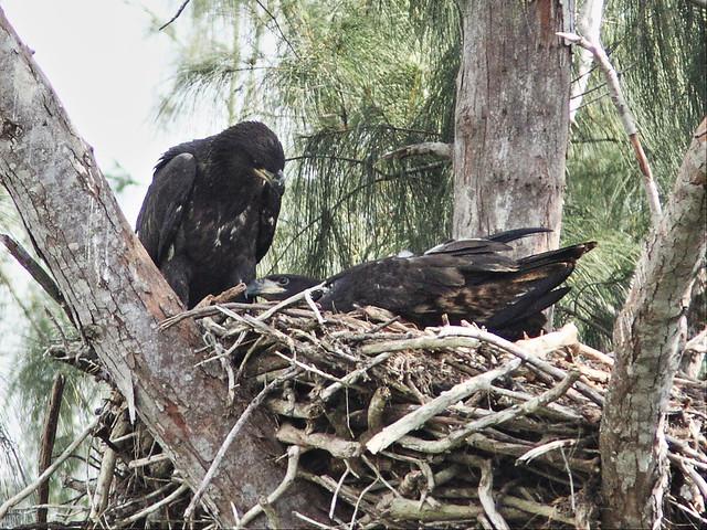 Bald Eaglets 2-20140413