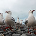 Gulls of Kaikoura by andrewrosspoetry