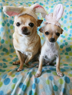 Happy Easter from the Chihuahuabunnies