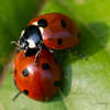COCCINELLES05 by daumy