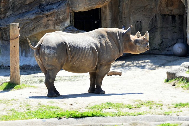 Seyia, the Black Rhino
