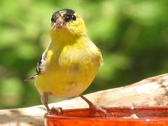 atlantic canary, animal, ortolan bunting, perching bird, canary, yellow, fauna, emberizidae, beak, bird,