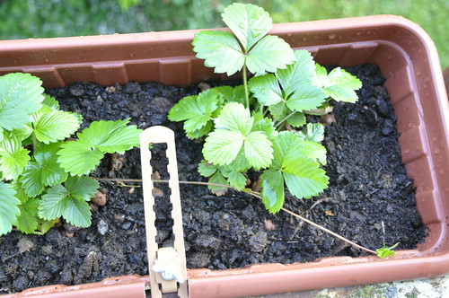 growing strawberry фото