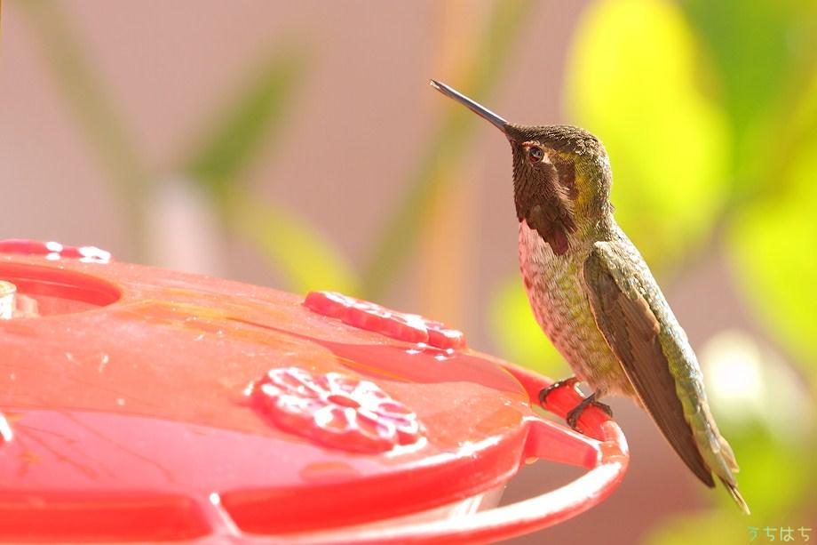 Anna's Hummingbird 112211