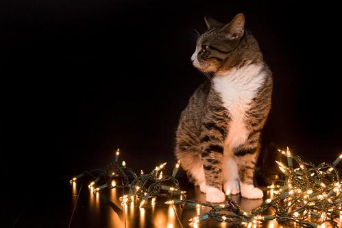 dapper cat is posing dapperly.