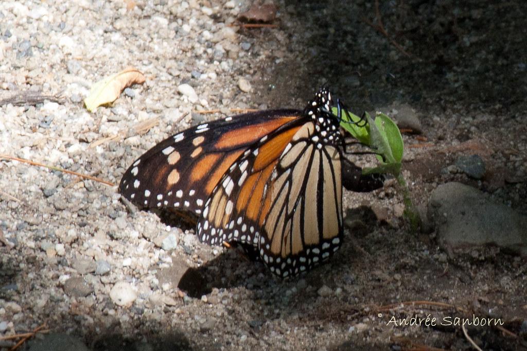 Monarch Butterfly (Danaus plexippus)-8.jpg