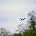 Northern Harrier by KyleCare 