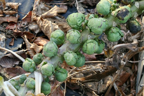 Brussels sprouts 035