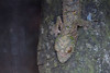 "<a href=""http://www.flickr.com/photos/anschieber/6459429803/"">Photo of Uroplatus sikorae by AnSchieber</a>"