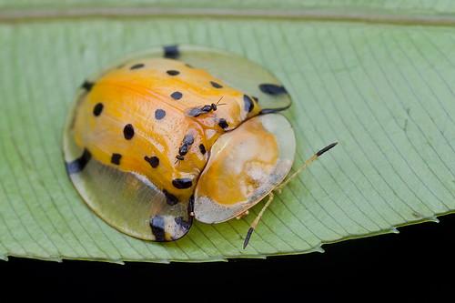 Tortoise beetle, <i>Aspidomorpha miliaris</i>IMG_0888 copy