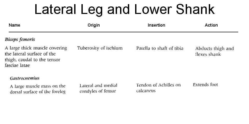 14. Lateral and Lower Leg Muscles OIA