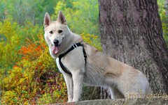 gray wolf(0.0), shikoku(0.0), norwegian elkhound(0.0), berger blanc suisse(0.0), korean jindo dog(0.0), dog breed(1.0), animal(1.0), west siberian laika(1.0), dog(1.0), czechoslovakian wolfdog(1.0), siberian husky(1.0), canaan dog(1.0), pet(1.0), white shepherd(1.0), mammal(1.0), east siberian laika(1.0), tamaskan dog(1.0), greenland dog(1.0), northern inuit dog(1.0), wolfdog(1.0), saarloos wolfdog(1.0), east-european shepherd(1.0), native american indian dog(1.0), norwegian lundehund(1.0),