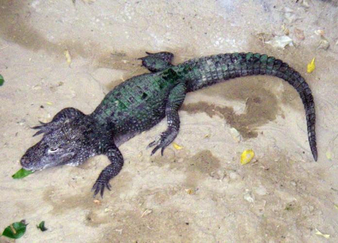 Alligator sinensis 6509019787_f34f8a78f5_o