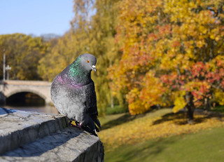 Pigeon in the Autumn