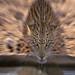 Leopard having a drink at Munro Waterhole in the Kalahari Desert IMG_1682 by WildImages