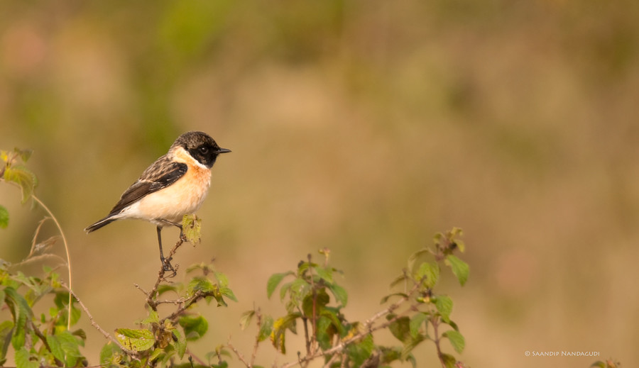 Common-Stonechat-Male