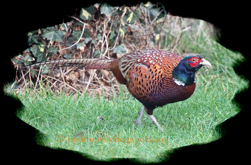 Pheasant 5