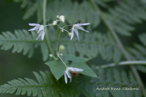 Marsh Bellflower (Campanula aparinoides (Campanula uliginosa))-1.jpg