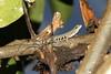 "<a href=""http://www.flickr.com/photos/mgrimm82/6560650509/"">Photo of Lygodactylus scheffleri by Martin Grimm</a>"