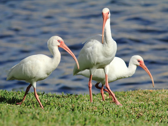 White Ibises three 20111223